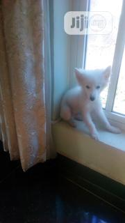 Young Male Purebred Samoyed | Dogs & Puppies for sale in Enugu State, Enugu East