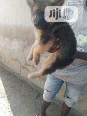 Young Male Purebred German Shepherd Dog | Dogs & Puppies for sale in Oyo State, Ibadan North East