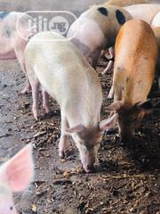 Advanced Growers For Sale | Livestock & Poultry for sale in Lagos State, Ikeja