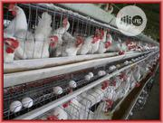 Healthy Broiler And Layers Chicken Poultry Different Weight And Height   Livestock & Poultry for sale in Edo State, Oredo