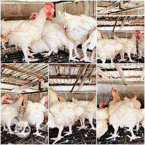 Giant Broilers/Chicken For Sale