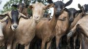 December Special Offer.Full Grown Male And Female Goat For Sale | Livestock & Poultry for sale in Plateau State, Jos North