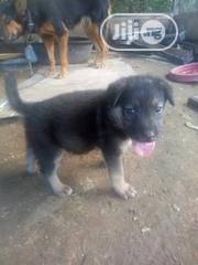 Young Male Purebred German Shepherd Dog | Dogs & Puppies for sale in Enugu State, Enugu North
