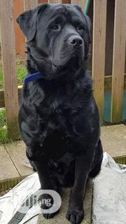 Adult Female Purebred Rottweiler   Dogs & Puppies for sale in Abuja (FCT) State, Nyanya
