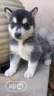 Young Male Purebred Siberian Husky | Dogs & Puppies for sale in Lagos State, Alimosho
