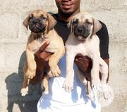 Young Female Purebred Boerboel | Dogs & Puppies for sale in Lagos State, Alimosho