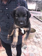 Baby Female Purebred German Shepherd Dog | Dogs & Puppies for sale in Lagos State, Surulere