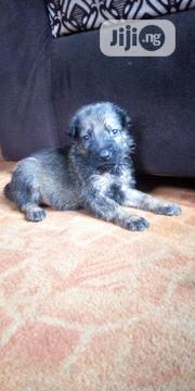Baby Male Purebred German Shepherd Dog | Dogs & Puppies for sale in Oyo State, Ibadan