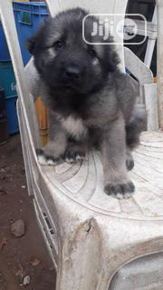 Young Female Purebred Caucasian Shepherd Dog | Dogs & Puppies for sale in Lagos State, Surulere