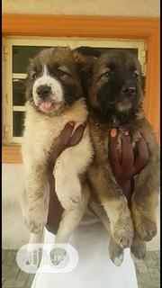 Young Female Purebred Caucasian Shepherd Dog | Dogs & Puppies for sale in Lagos State, Alimosho