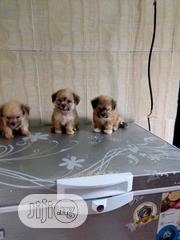 Young Female Purebred Lhasa Apso | Dogs & Puppies for sale in Lagos State, Lagos Mainland