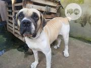Adult Female Purebred Boerboel | Dogs & Puppies for sale in Oyo State, Ibadan North West