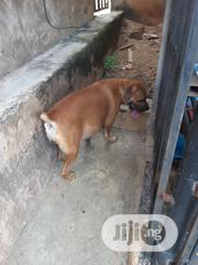 Baby Male Purebred Boerboel | Dogs & Puppies for sale in Ogun State, Abeokuta South