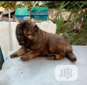 Baby Female Purebred Caucasian Shepherd Dog | Dogs & Puppies for sale in Lagos State, Ikorodu