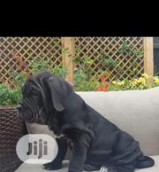 Baby Male Purebred Neapolitan Mastiff | Dogs & Puppies for sale in Lagos State, Ipaja
