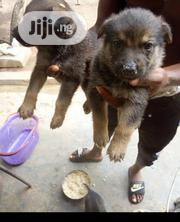Baby Female Purebred German Shepherd Dog | Dogs & Puppies for sale in Lagos State, Ikorodu