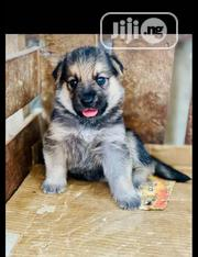 Baby Female Purebred German Shepherd Dog | Dogs & Puppies for sale in Lagos State, Kosofe