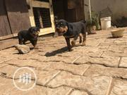 Baby Female Purebred Rottweiler | Dogs & Puppies for sale in Abuja (FCT) State, Asokoro