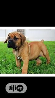 Baby Male Purebred Boerboel | Dogs & Puppies for sale in Lagos State, Oshodi-Isolo