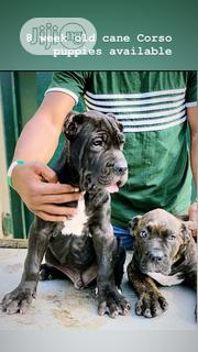 Baby Male Purebred Cane Corso | Dogs & Puppies for sale in Lagos State, Ikoyi