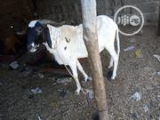 Heavy Goat For Sale | Livestock & Poultry for sale in Lagos State, Alimosho