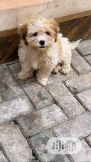 Senior Female Purebred Lhasa Apso   Dogs & Puppies for sale in Abuja (FCT) State, Galadimawa
