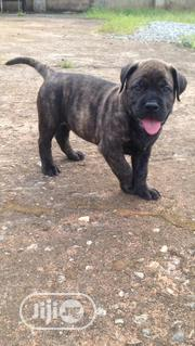 Baby Female Purebred Boerboel | Dogs & Puppies for sale in Edo State, Benin City