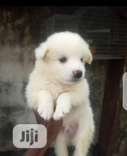Baby Male Purebred Samoyed | Dogs & Puppies for sale in Abuja (FCT) State, Nyanya