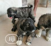 Baby Male Purebred Caucasian Shepherd Dog | Dogs & Puppies for sale in Abuja (FCT) State, Nyanya