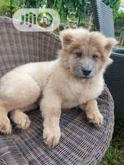 Baby Male Purebred Chow Chow | Dogs & Puppies for sale in Abuja (FCT) State, Nyanya