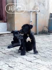 Baby Female Purebred Cane Corso | Dogs & Puppies for sale in Lagos State, Ipaja