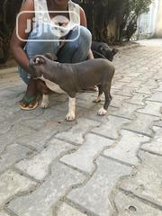 Baby Female Purebred American Pit Bull Terrier | Dogs & Puppies for sale in Lagos State, Lagos Island