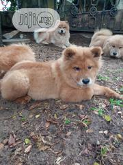 Baby Female Purebred Chow Chow | Dogs & Puppies for sale in Abuja (FCT) State, Nyanya
