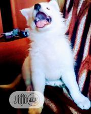 Baby Female Purebred Samoyed | Dogs & Puppies for sale in Lagos State, Ipaja