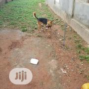 Adult Male Purebred German Shepherd Dog | Dogs & Puppies for sale in Oyo State, Akinyele