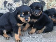 Baby Female Purebred Rottweiler   Dogs & Puppies for sale in Oyo State, Akinyele