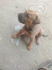 Baby Female Purebred Boerboel | Dogs & Puppies for sale in Abuja (FCT) State, Kubwa