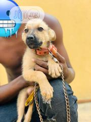 Senior Female Purebred German Shepherd Dog | Dogs & Puppies for sale in Lagos State, Alimosho