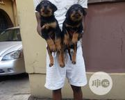 Baby Female Purebred Rottweiler   Dogs & Puppies for sale in Oyo State, Oluyole