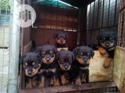 Baby Female Purebred Rottweiler | Dogs & Puppies for sale in Abuja (FCT) State, Nyanya