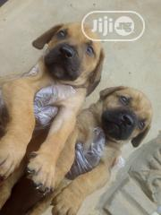 Young Female Purebred Boerboel | Dogs & Puppies for sale in Ogun State, Sagamu