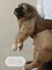Baby Male Purebred Caucasian Shepherd Dog | Dogs & Puppies for sale in Lagos State, Victoria Island