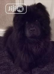 Young Female Purebred Chow Chow | Dogs & Puppies for sale in Lagos State, Ikoyi