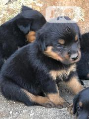 Baby Male Purebred Rottweiler | Dogs & Puppies for sale in Oyo State, Ibadan