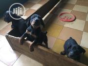 Baby Female Purebred Doberman Pinscher | Dogs & Puppies for sale in Oyo State, Ibadan