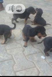 Baby Female Purebred Rottweiler | Dogs & Puppies for sale in Oyo State, Akinyele