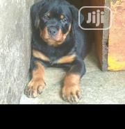 Baby Male Purebred Rottweiler | Dogs & Puppies for sale in Oyo State, Atiba