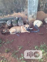 Adult Female Purebred Boerboel | Dogs & Puppies for sale in Edo State, Benin City
