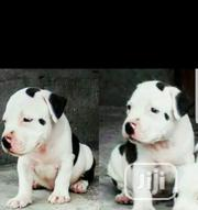 Baby Male Purebred American Pit Bull Terrier | Dogs & Puppies for sale in Oyo State, Oluyole