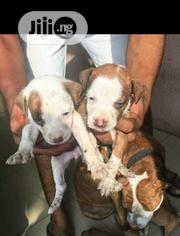 Baby Female Purebred American Pit Bull Terrier | Dogs & Puppies for sale in Oyo State, Ona-Ara